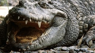 Crocodile - My animal friends - Animal documentaries -Kids educational Videos