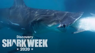 This Hammerhead Is MASSIVE | Shark Week
