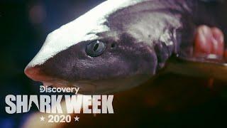 A Rare Flapnose Hound Shark! | Shark Week