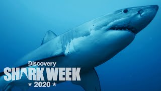 Measuring Sharks With a Stereo Camera | Shark Week
