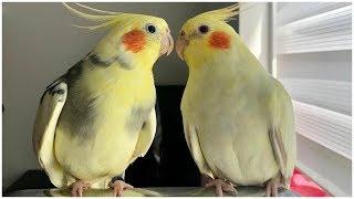 Best Cockatiel Talking and Singing Videos 2020 - talking birds # 19