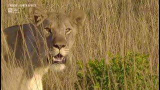 WildEARTH, lions, Sunrise Jun 17 2021