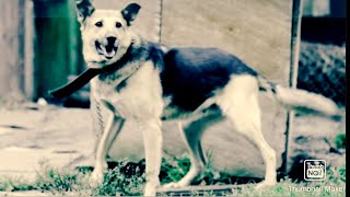 Smart Dog German shepherd #1 - Funny Food Training Funny Dogs video 2021
